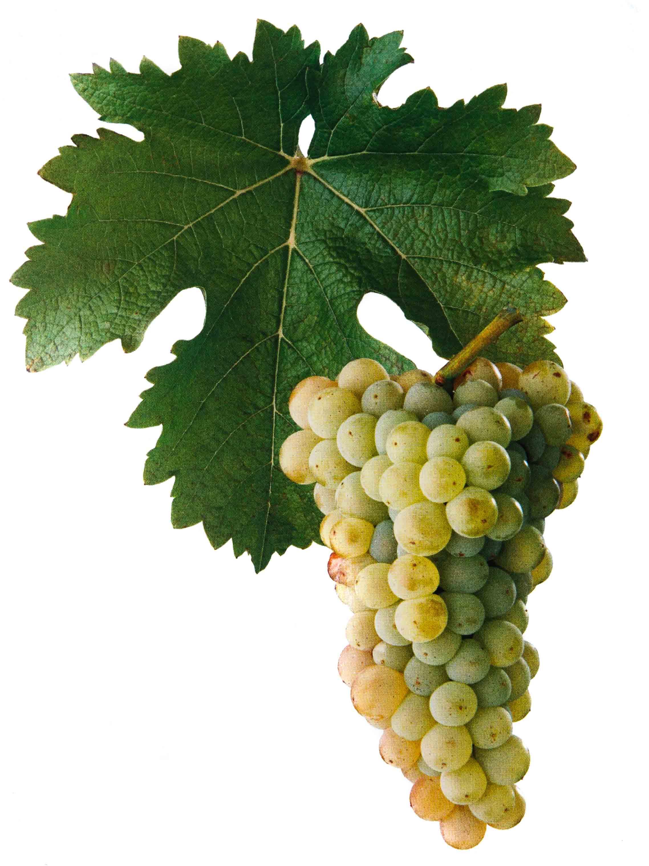 Sauvignon - Odrůda vína Sauvignon pochází z Francie a na Znojemsku je zařazena ve VOC