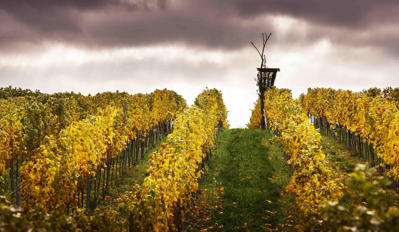 Vinařství Špalek - vinice na Kraví hoře