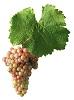 Víno Hibernal - hrozen